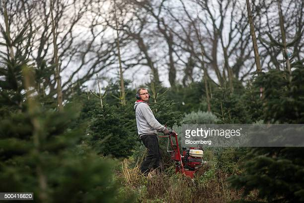 An employee uses a machine to cut down Christmas trees in a field at Santa Fir Christmas Tree Farm near Guildford UK on Monday Dec 7 2015 With...