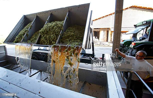 An employee watches as freshly harvested grapes picked for their use in Prosecco wine fall from a truck into a storage vat at I Magredi vineyard in...