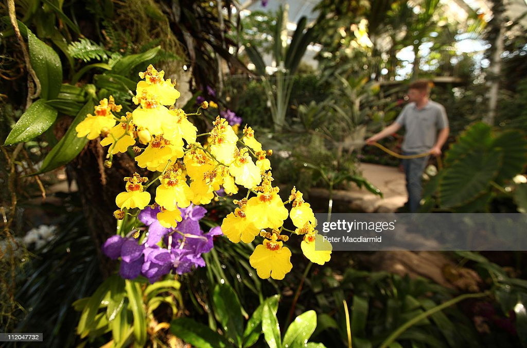Exotic Orchids On Display At RHS Wisley : News Photo