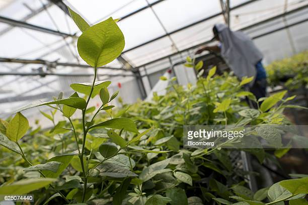 An employee waters strawberry plants inside a greenhouse at the Driscoll's Inc facility on the Cassin Ranch in Watsonville California US on Monday...