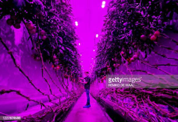 An employee works at the PlantLab production hall in Amsterdam, The Netherlands, on July 29, 2020. - The company grows crops in high-tech cultivation...