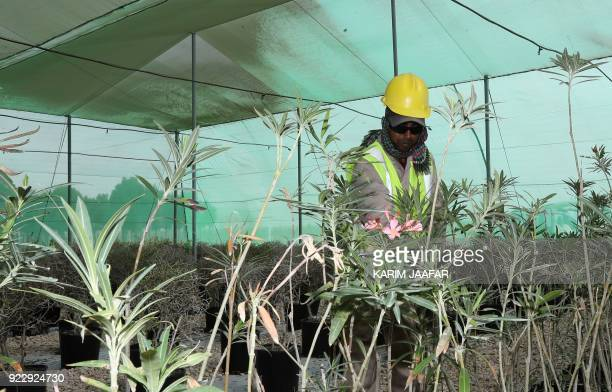An employee works at the Supreme Committee for Delivery and Legacy Tree Nursery in Doha on February 22 2018 The nursery is growing trees and turf...