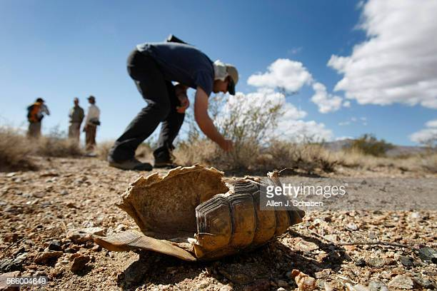 An empty desert tortoise shell is all that remains in the harsh Mojave desert as federal biologists Max Havelka of Los Angeles searches the scrub for...