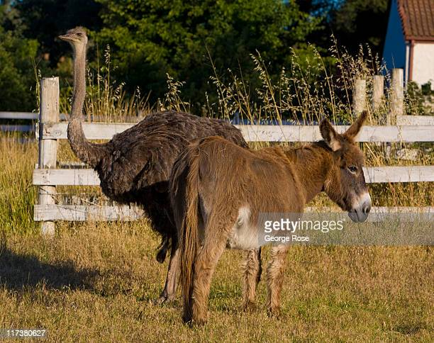 An emu and a donkey graze together in a neighborhood pasture on June 18 2011 in Healdsburg California Following the wet cool spring a more normal...