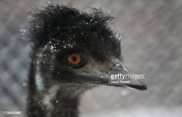 An Emu,Dromaius noaehollandiae, looks around as snow falls. Animals at the High Park Zoo hang around in the snow as another round of flurries hits in...