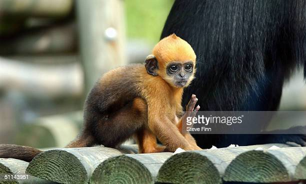 An endangered baby Francois' Langur monkey called Laa Laa settles in following her July 6 birth at London Zoo Regent's Park on August 5 2004 in...