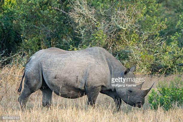 An endangered black rhinoceros or hooklipped rhinoceros at the Ol Pejeta Conservancy in Kenya