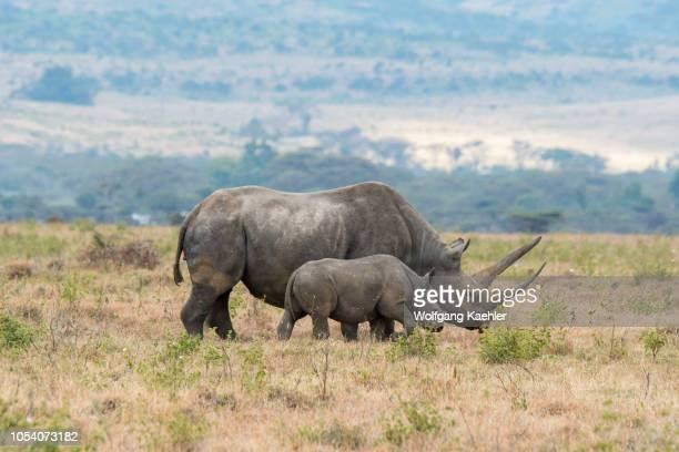 An endangered black rhinoceros or hooklipped rhinoceros female and baby at the Lewa Wildlife Conservancy in Kenya