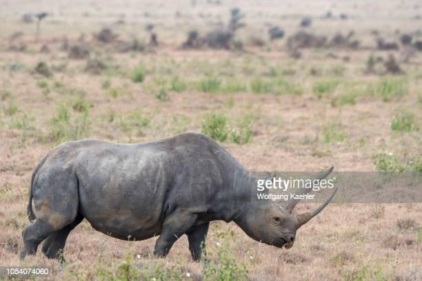 An endangered black rhinoceros or hooklipped rhinoceros female at the Lewa Wildlife Conservancy in Kenya
