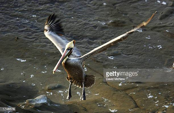 An endangered California Brown Pelican comes in for a landing on January 27 2003 in La Jolla California Mutilations and killings of the endangered...