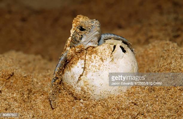 An endangered green sea turtle hatchling emerges from its egg, Bentota, Sri Lanka