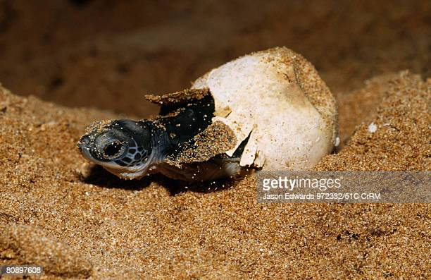 An endangered green sea turtle hatchling emerges from its egg Bentota Sri Lanka
