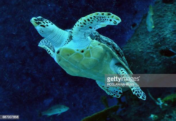 An endangered hawksbill turtle swims in the enclosure at the SEA Aquarium at Resort World Sentosa in Singapore on May 23 2017 Two rescued sea turtles...