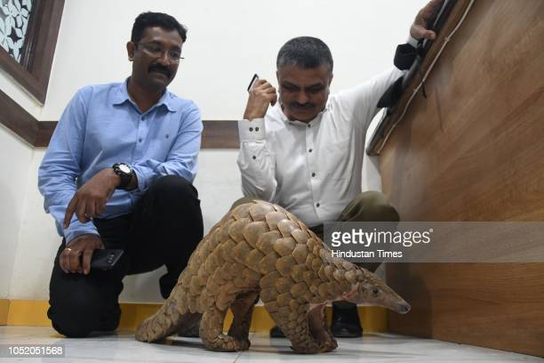 An endangered mammal Indian Pangolin rescued from three accused at Saket Road near Balkum by Thane Crime Branch Unit 1 on October 12 2018 in Mumbai...
