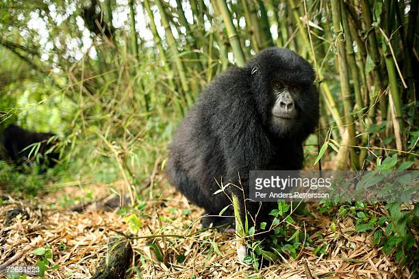 An endangered mountain Gorilla walks in the forest on September 30 2006 in the Virunga National Park outside Goma DRC Only about 380 of these...