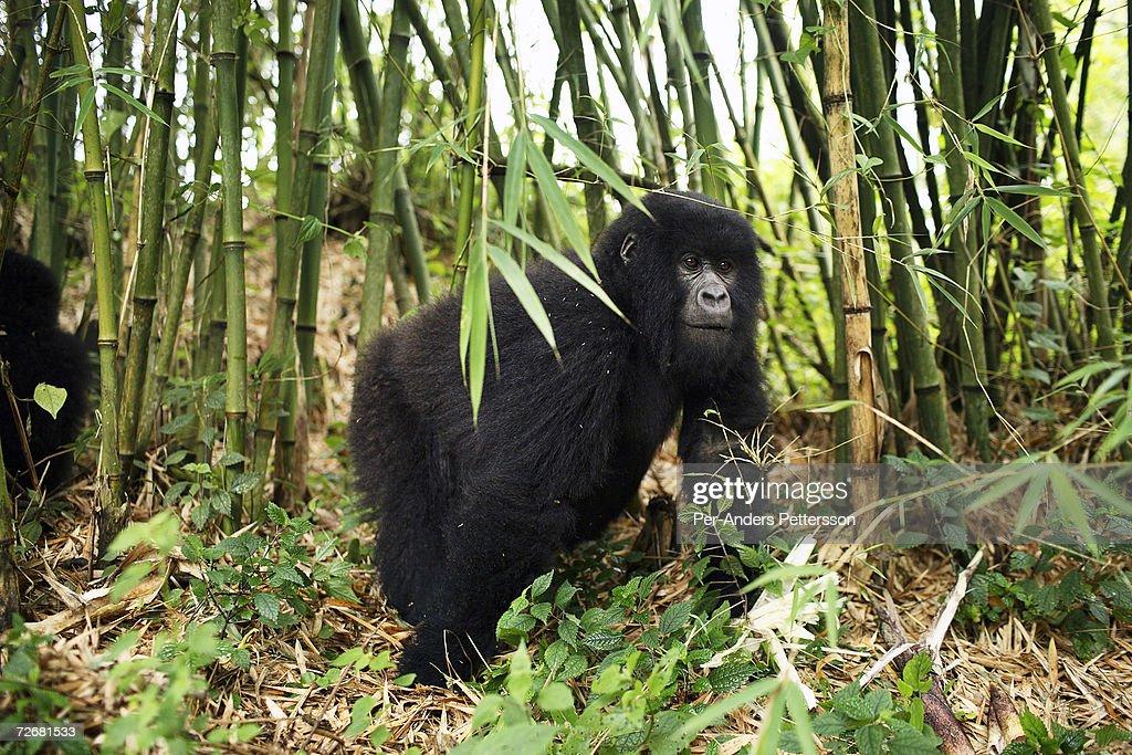 COG: Endangered Gorillas : News Photo