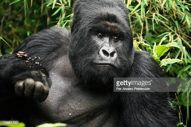 An endangered mountain Silverback Gorilla plays in the forest on September 30 2006 in the Virunga National Park outside Goma DRC Only about 380 of...