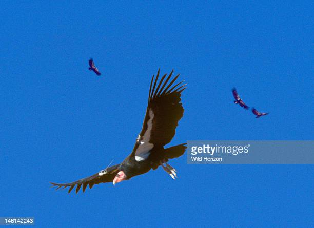 An Endangered species success story captivebred California condors soaring in Arizona's canyon country wilderness Gymnogyps calfornianus Captive bred...