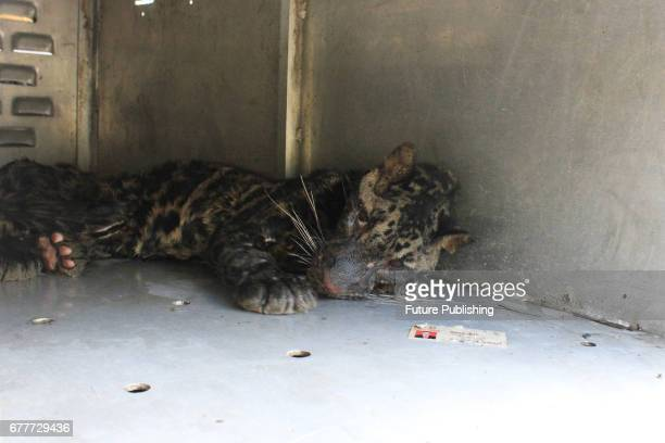 An endangered Sumatran Clouded Leopard rescued on May 03 2017 in West Sumatra Indonesia The leopard slumped while being transferred to a temporary...