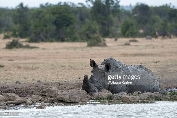 An endangered white rhinoceros or squarelipped rhinoceros with the keratin of the horn removed to prevent poaching is taking a mud bath at the Ol...