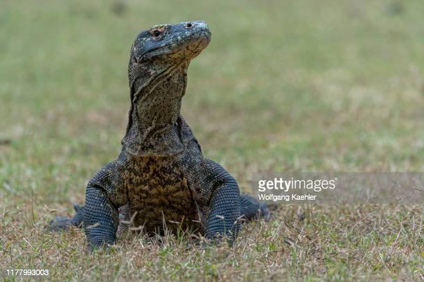 An endemic Komodo dragon on Rinca Island, part of Komodo National Park , Indonesia.