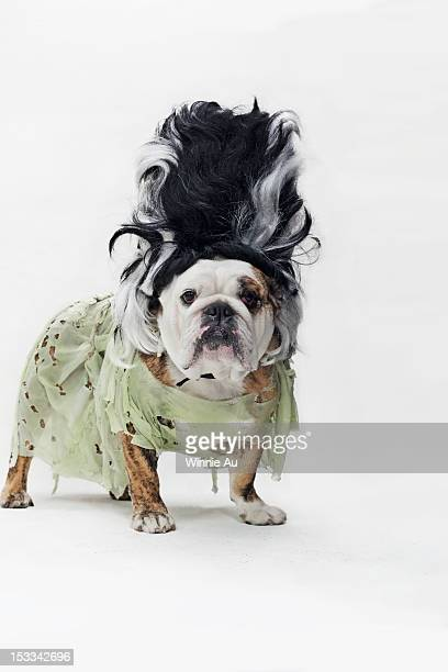 an english bulldog in costume as the bride of frankenstein - frankenstein stock photos and pictures
