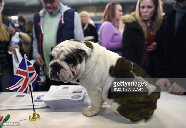 An English Bulldog is seen during the 9th AKC Meet The Breeds on February 10 2018 in New York at the 142th Annual Westminster Kennel Club Dog Show /...