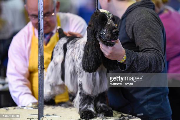 An English Cocker Spaniel waits in the grooming area during day two of competiton at the Westminster Kennel Club 140th Annual Dog Show at Pier 92/94...