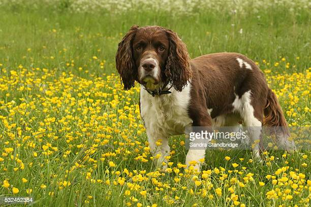 an english springer spaniel dog in a field of buttercups... - english springer spaniel stock pictures, royalty-free photos & images