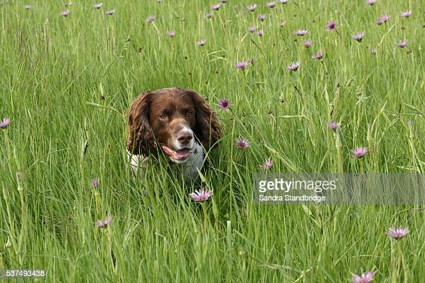 an english springer spaniel dog in a field of flowers. - springer spaniel stock pictures, royalty-free photos & images