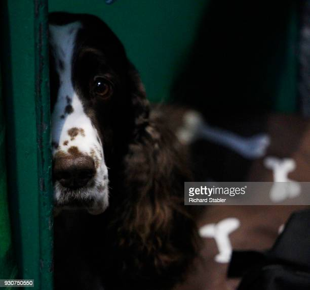 An English Springer Spaniel on day four of the Cruft's dog show at the NEC Arena on March 11 2018 in Birmingham England The annual fourday event sees...