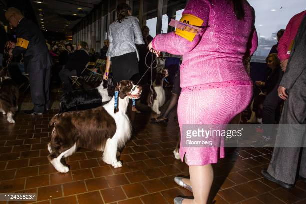 An English Springer Spaniel prepare before entering the competition ring at the 143rd Westminster Kennel Club Dog Show in New York US on Tuesday Feb...