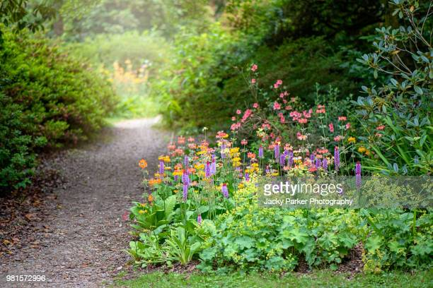 an english summer garden path with primula vialii, vial's primroses and candelabra primroses - shade stock pictures, royalty-free photos & images