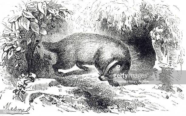 An engraving depicting a badger Badgers are shortlegged omnivores in the family Mustelidae which also includes the otters polecats weasels and...