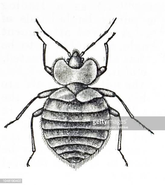 An engraving depicting a bed bug a parasitic insect in the genus Cimex that feeds exclusively on blood Dated 19th century