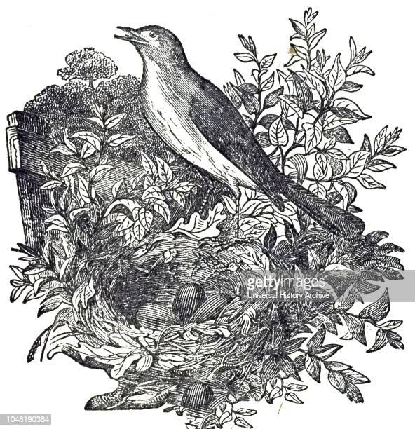 An engraving depicting a Common nightingale a small passerine bird best known for its robust and beautiful song Dated 19th century