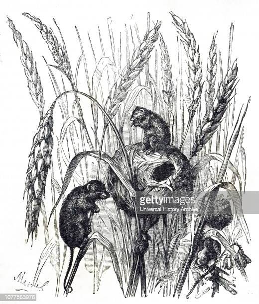 An engraving depicting a Eurasian harvest mouse a small rodent native to Europe and Asia Dated 19th century