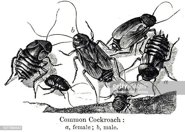 An engraving depicting female and male common cockroaches a female b male Dated 20th century