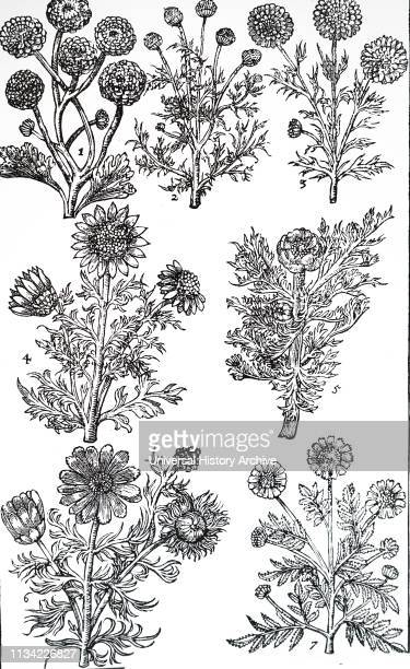 A syrup of camomile was used for jaundice and dropsy From John Parkinson 'Paradisi in Sole Paradisus Terrestris' 1629
