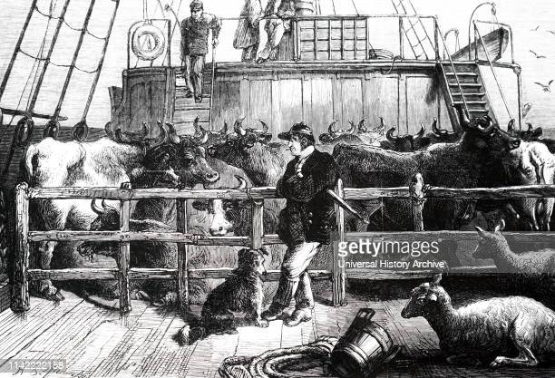 An engraving depicting foreign cattle being shipped into London on the London/Rotterdam Steamer Batavier Dated 19th century