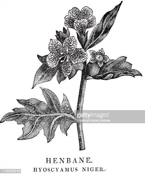 Henbane From Robert John Thornton's 'A New Family Herbal' London 1810 Woodcut by Thomas Bewick