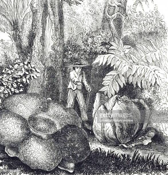 An engraving depicting the flower and bud of Rafflesia arnoldii a species of flowering plant in the parasitic genus Rafflesia Dated 19th century