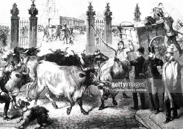 An engraving depicting the inspection of cattle especially imported for the Metropolitan Cattle Market Copenhagen Fields London Dated 19th century