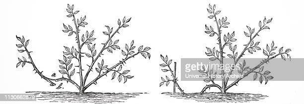 An engraving depicting the method of layering a rose tree by making a tongue and pegging down Dated 19th century