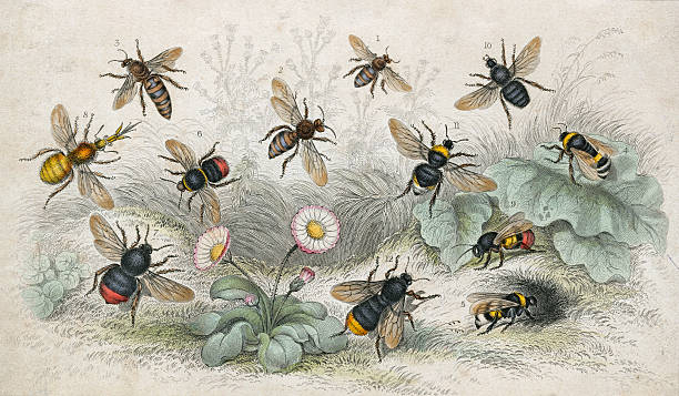 An engraving of various bees, circa 1800. Pictured...