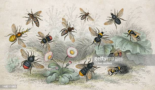 An engraving of various bees circa 1800 Pictured are honey bees common humble bees lapidary bees moss or carder bees Donovan's humble bee Harris'...