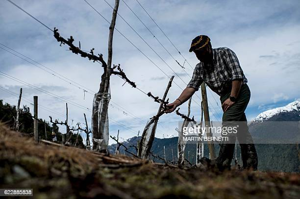 An enologist is seen at the vineyard of the Villasenor winery in Puelo, Los Lagos Region, Chile on October 18, 2016. Amid thousand-year-old woods and...