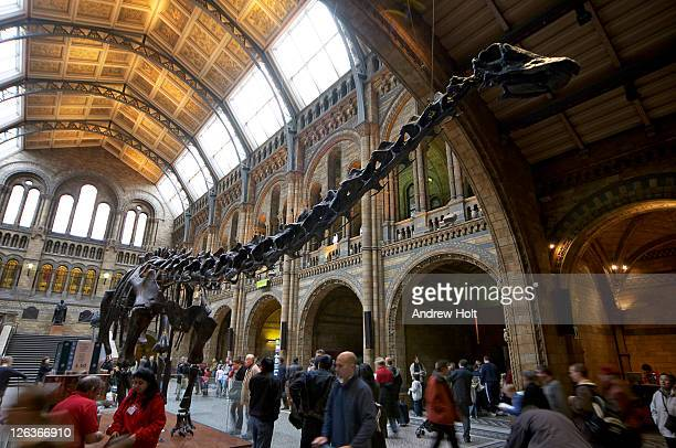an enormous skeleton of a diplodocus dominates the central hall of the natural history museum. the natural history museum was built in 1881 to house the british museum's growing collection of natural history specimens.  the vast building is a masterpiece i - sauropoda stock pictures, royalty-free photos & images