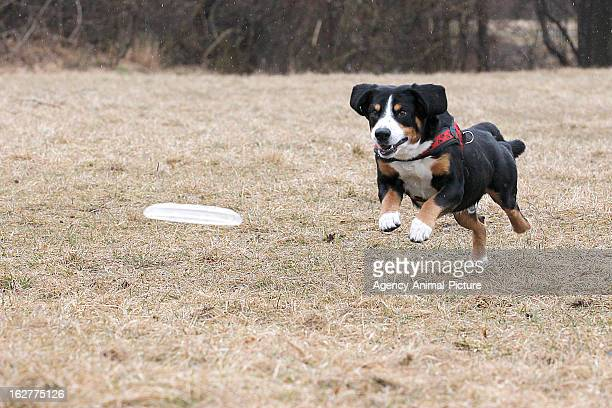 An Entlebucher Sennenhound is catching a plastic disc in the English Garden on March 08 2012 in Munich Germany