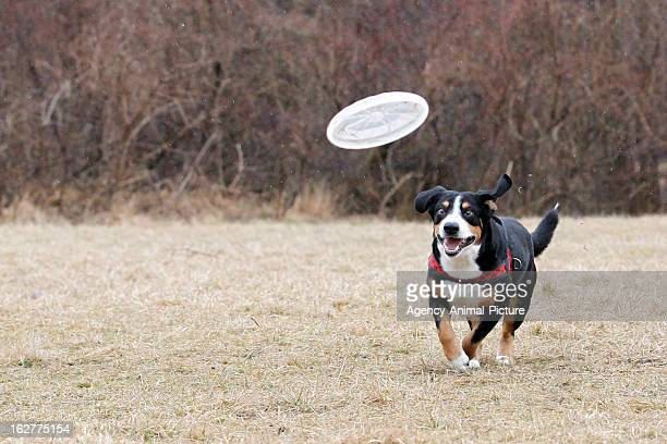 An Entlebucher Sennenhound is catching a plastic disc in the English Garden on March 08, 2012 in Munich, Germany.